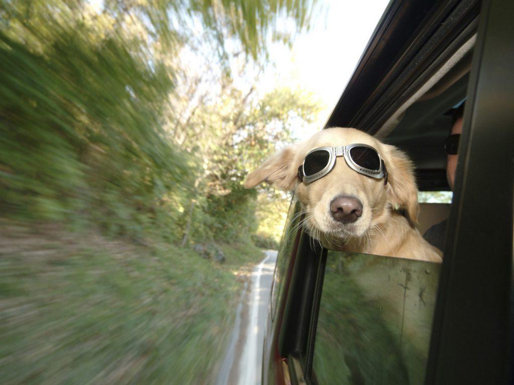 Una buena protección para los ojos, perro aviador?